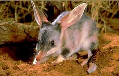 Australian Desert Animals - The Bilby