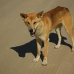 Australian Desert Animals - The Desert Dingo