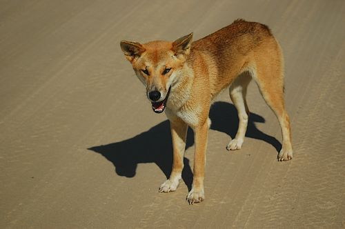 Australian Desert Animals - The Desert Dingo