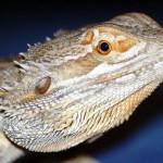Australian Desert Animals - The Bearded Dragon