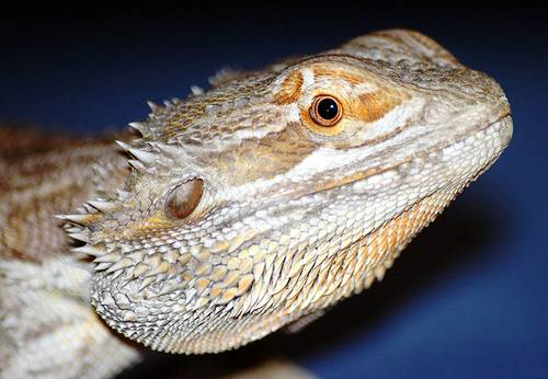 Australian Desert Animals - The Bearded Dragon